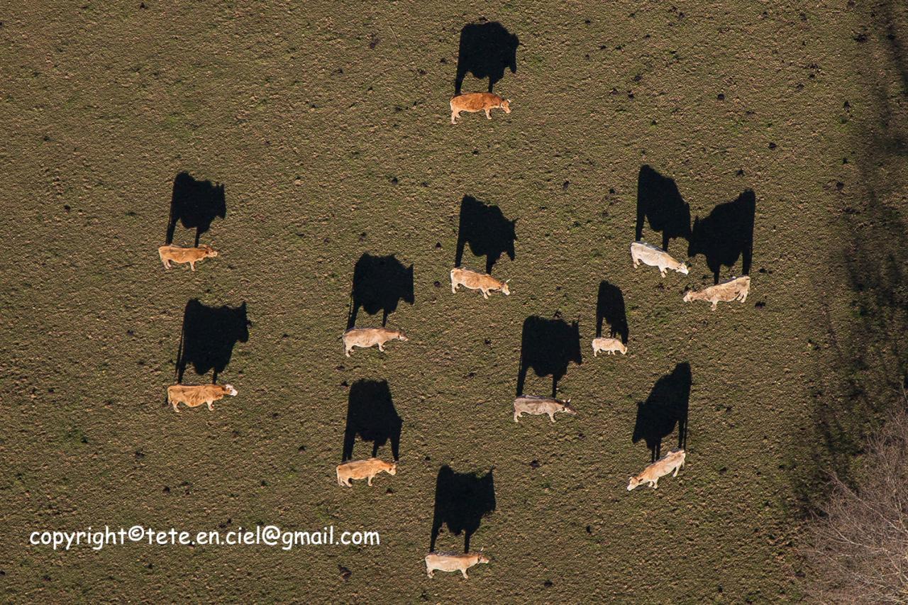 Vaches chinoises